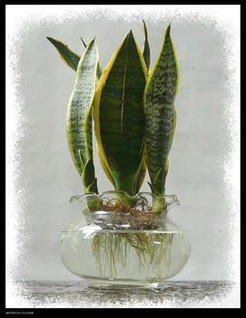 水培虎尾兰
